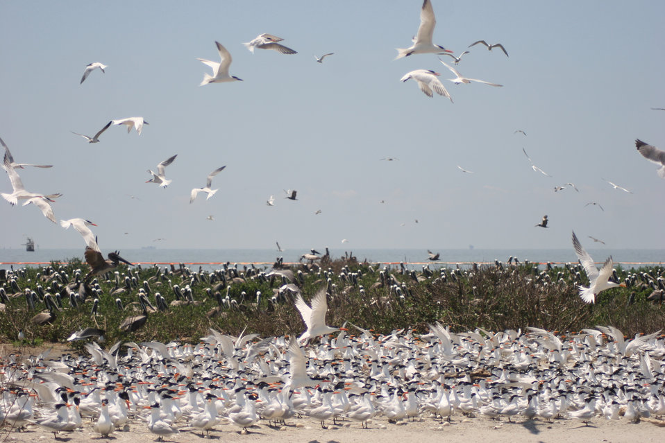 royal terns and pelicans