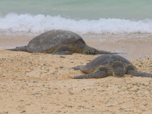 Green Turtles - Kilauea Point NWR