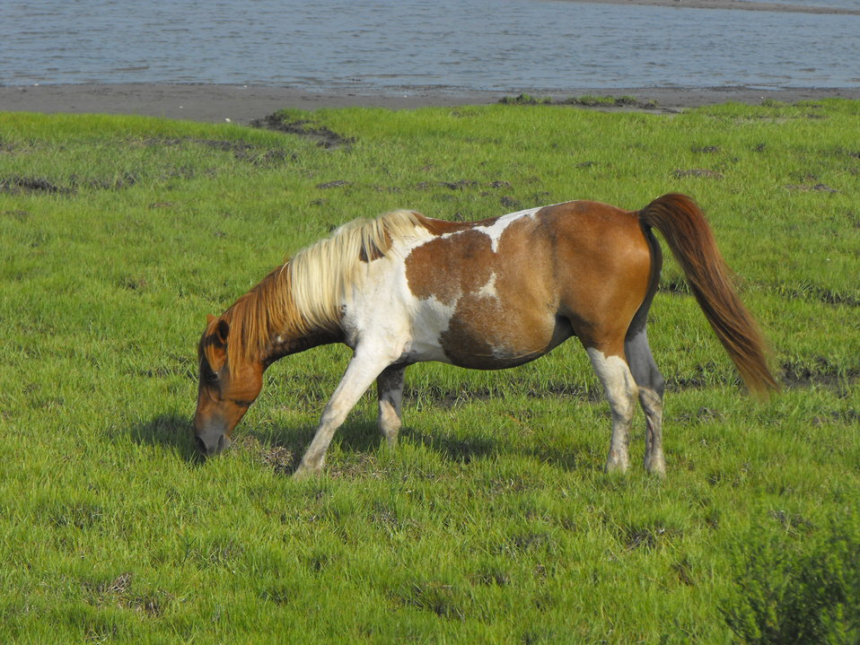 Chincoteague pony
