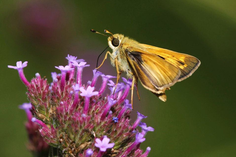 Skipper on Garden Phlox