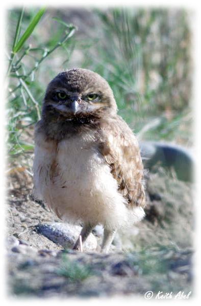 Owlet - Umatilla NWR