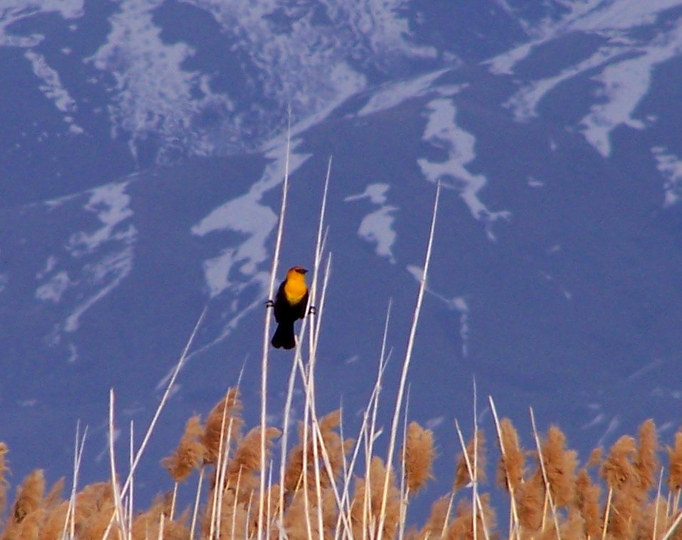 yellow-headed blackbird, Bear River Refuge