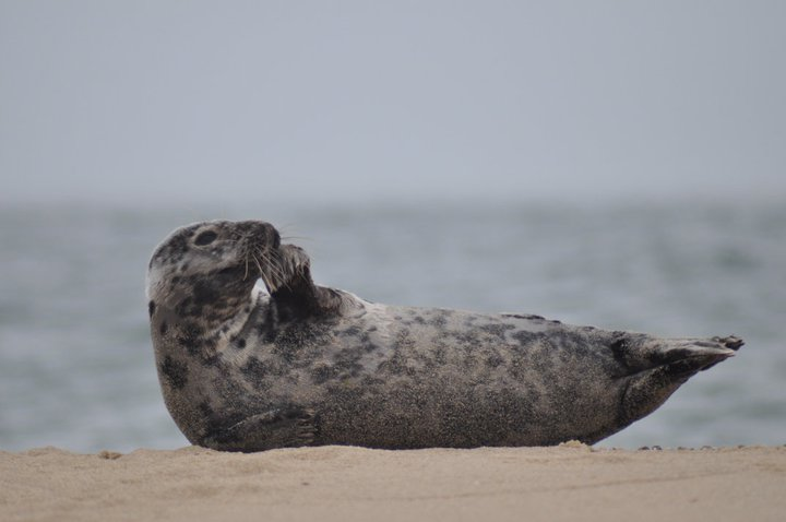 Seal at Nantucket National Wildlife Refuge