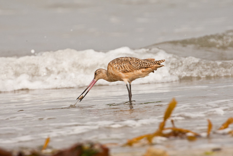 Marbled godwit (adult) catching a crab
