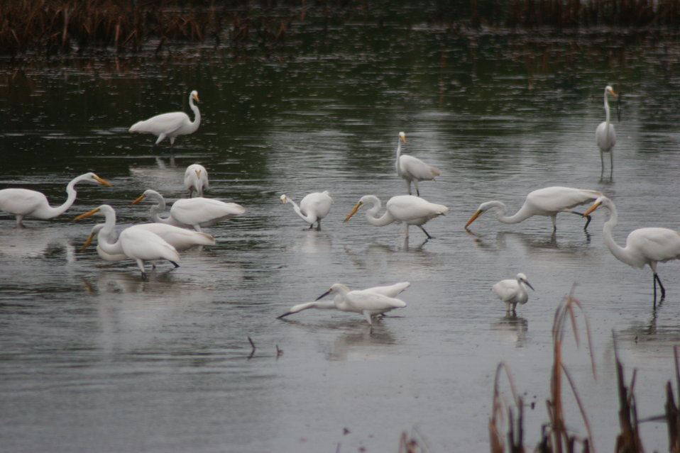 Egrets Feeding in the Marsh