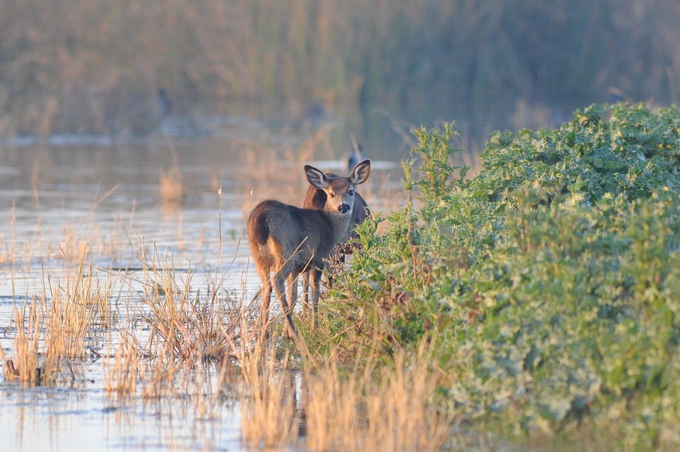 deer feeding on marsh plants