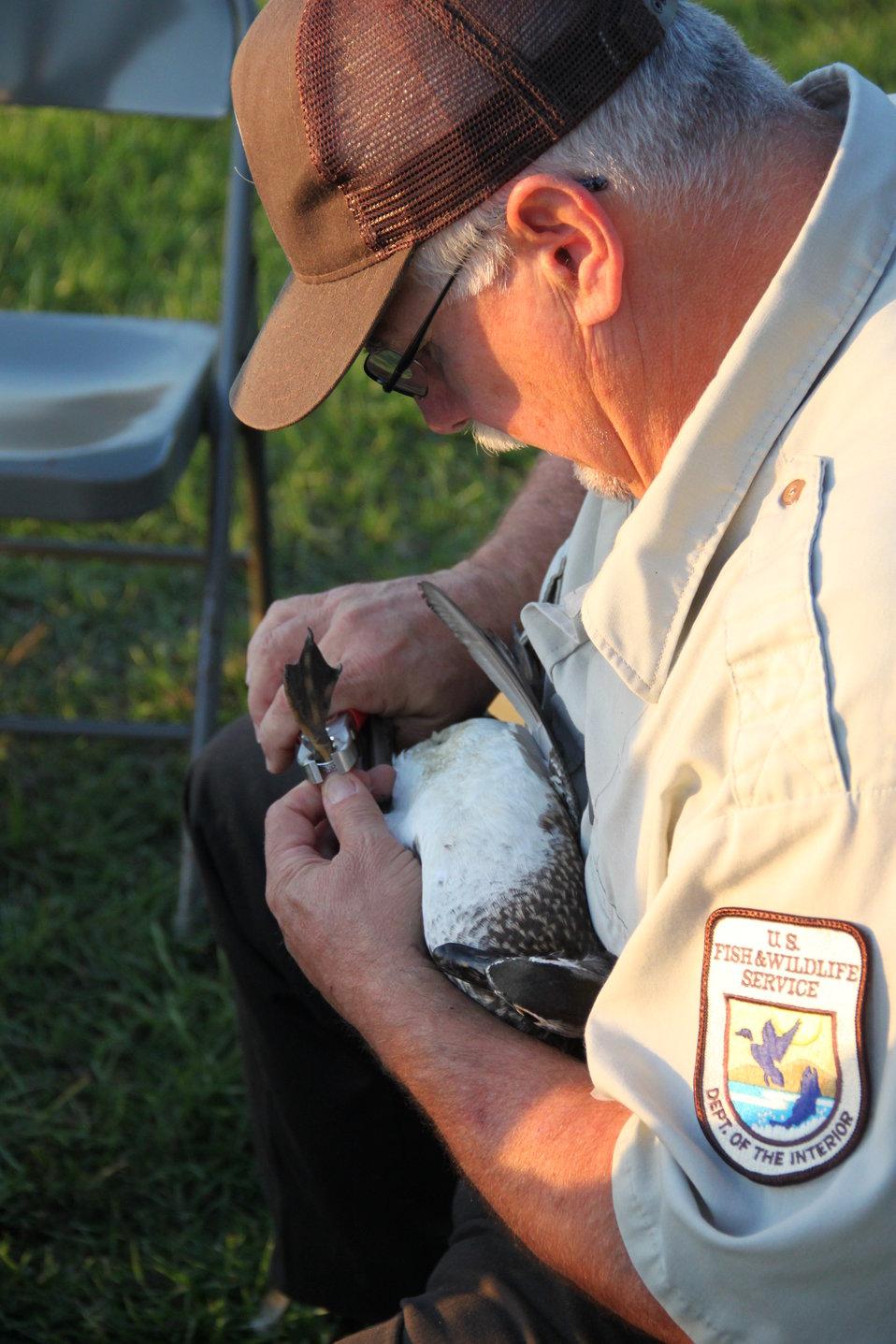 Waterfowl Banding September 2012