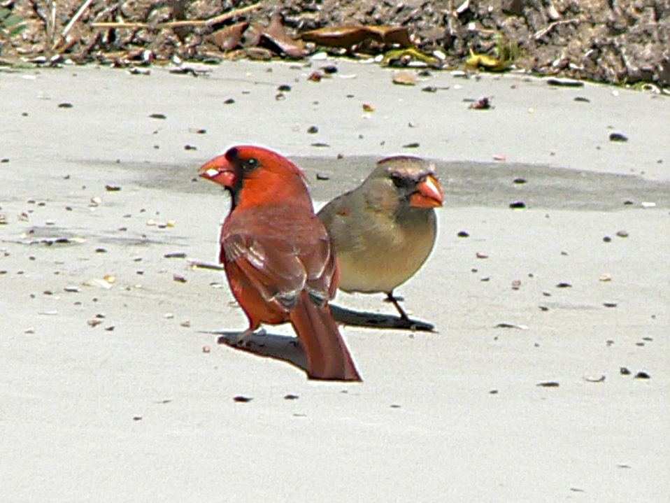 Photo of the Week - Cardinal Pair (NJ)