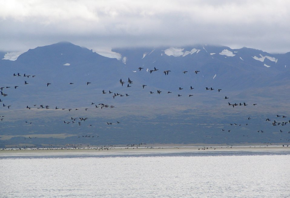 Brant at Izembek Lagoon