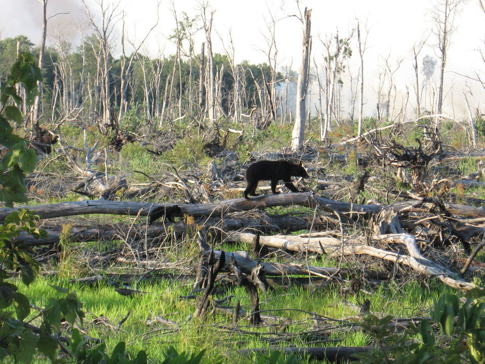 Bears at Lateral West Fire