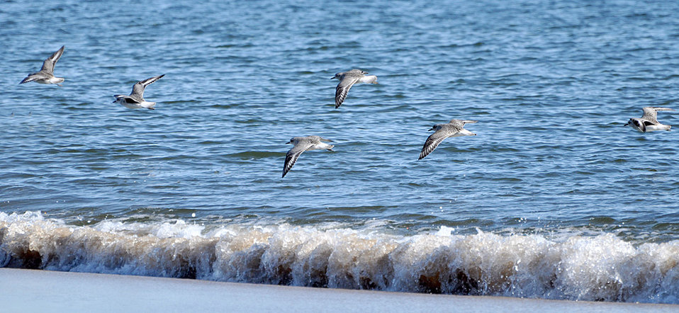 Shorebirds at Parker River National Wildlife Refuge