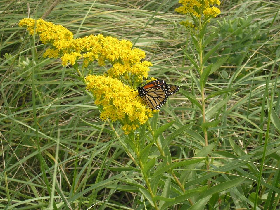 Monarch on Goldenrod