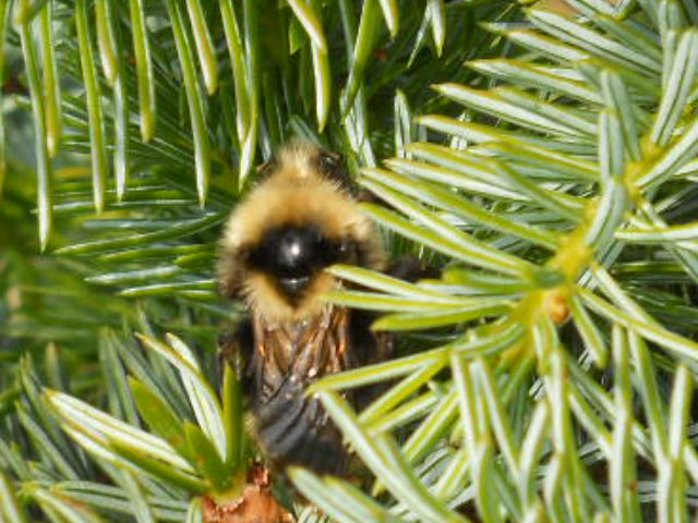 Bee on Spruce