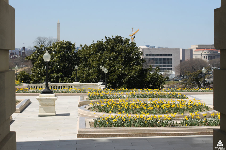 Daffodils on Capitol West Terrace