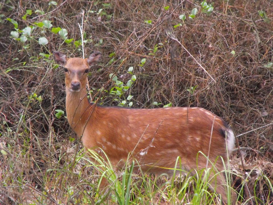 Sika Elk
