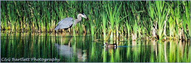 Great blue heron - Toppenish NWR