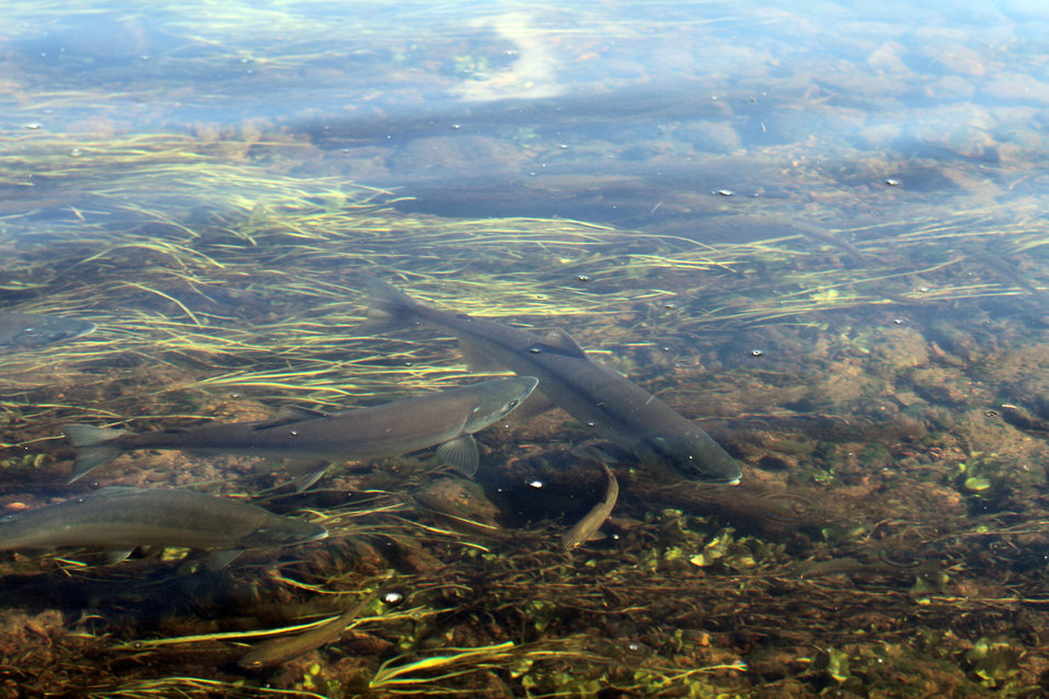 Rainbow trout mingling with Adult salmon spawners, Fish Creek Alaska