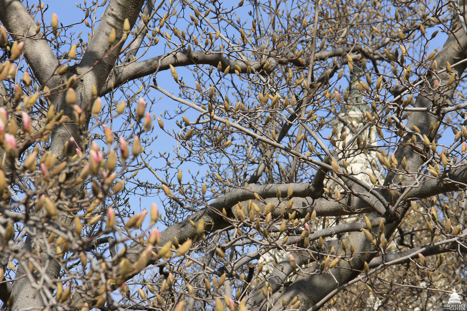 Magnolia in early bloom at Capitol