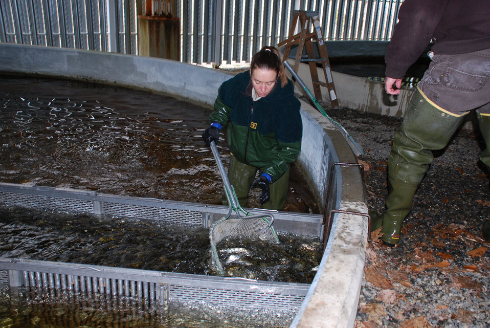 Netting Atlantic Salmon