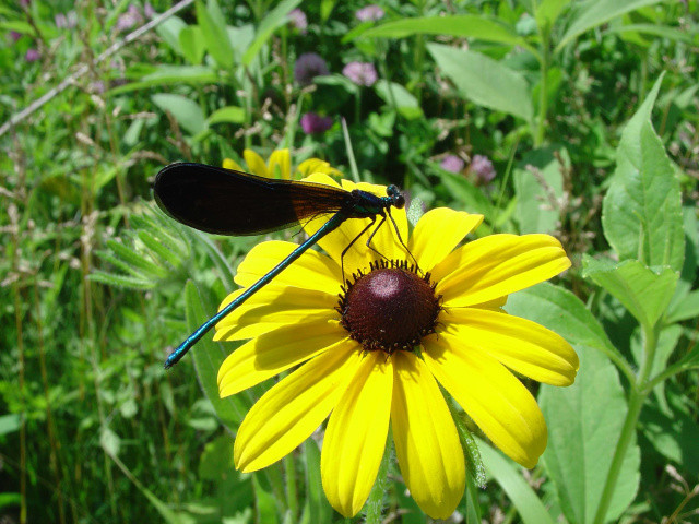 ebony jewelwing damselfly on black-eyed susan