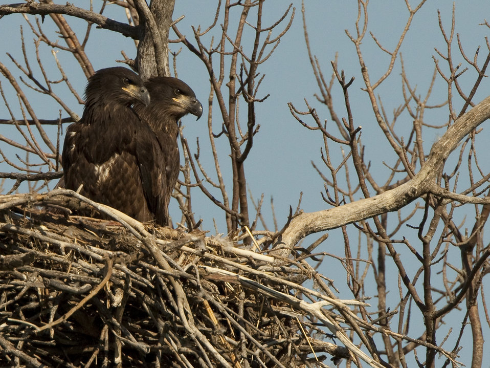 Successful Eagle Nest