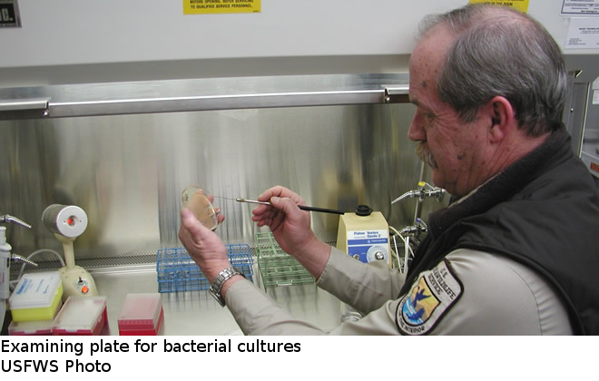 Examining plate for bacterial cultures - Abernathy Fish Technology Center