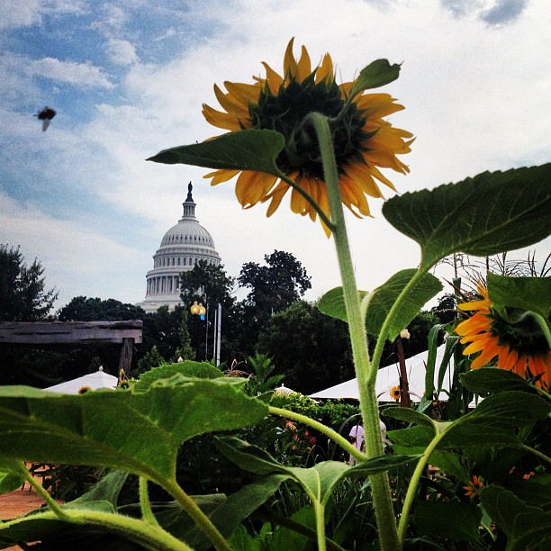 Sunflowers in bloom at U.S. Botanic Garden. #dc #capitol