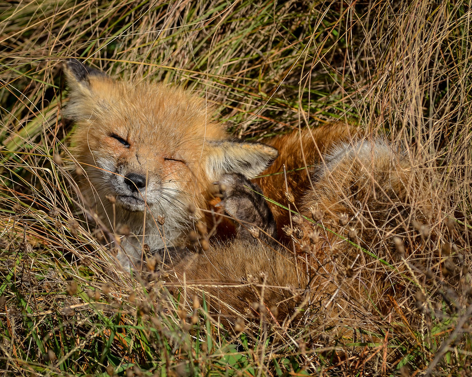 Red fox by Don Freiday