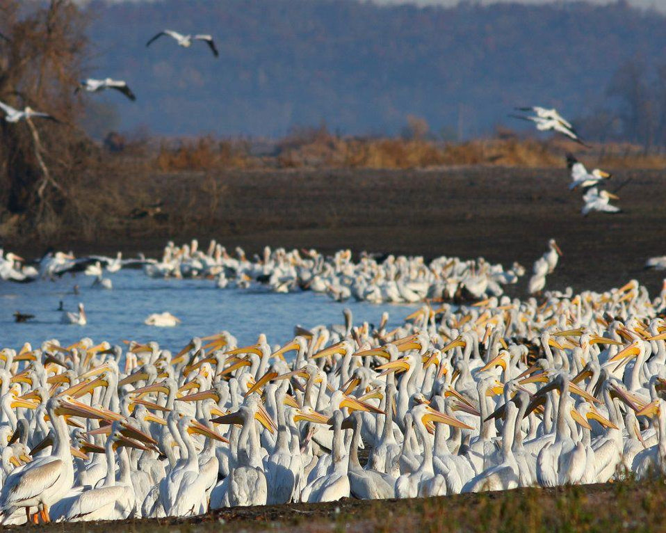 White pelicans staging at Squaw Creek NWR