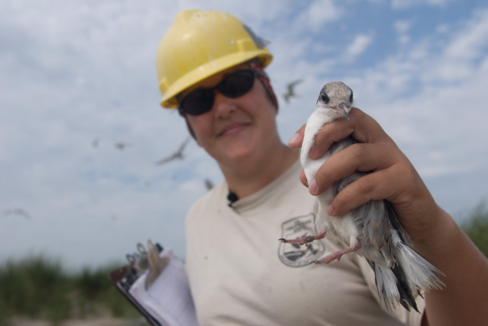 Service employee holding a tern at Monomoy National Wildlife Refuge