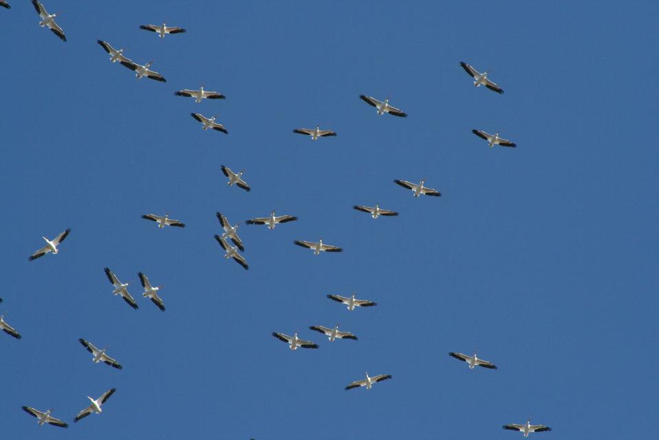 PelicansMigrating