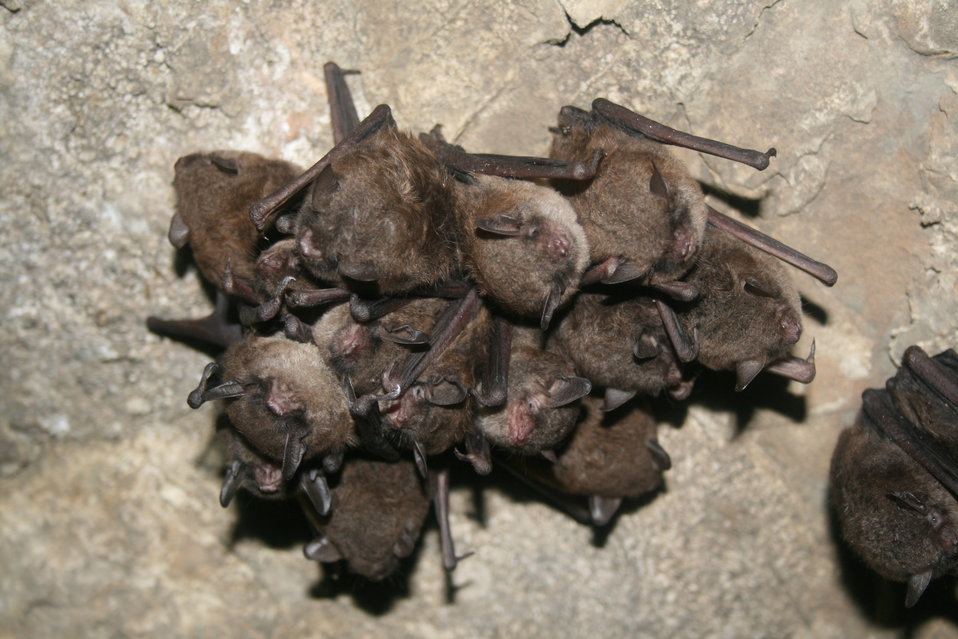 Hibernating bats