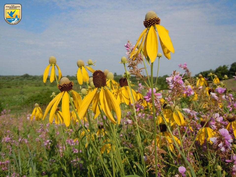 Yellow Coneflower - Midwest Region