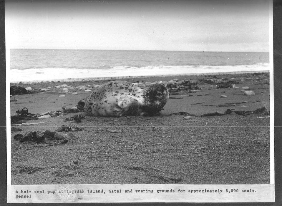 (1970) Hair Seal Pup