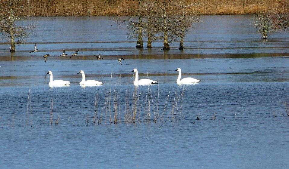 Swans and teal on Lake Mattamuskeet