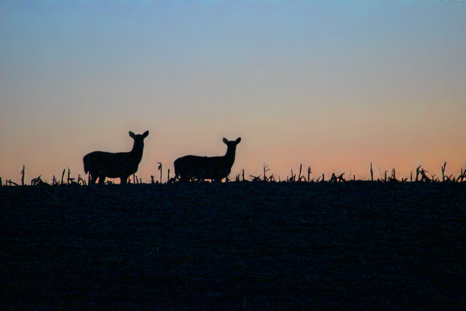 White-tailed Silhouettes
