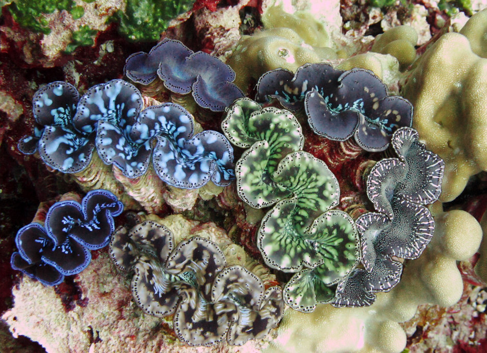 Both Palmyra Atoll and Kingman Reef National Wildlife Refuge are home to rare giant clams.   Photo credit:  Amanda Pollock / USFWS