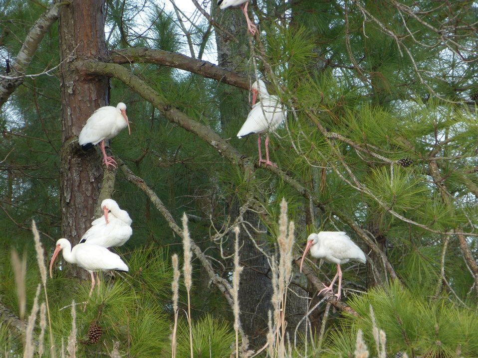White ibis in the trees