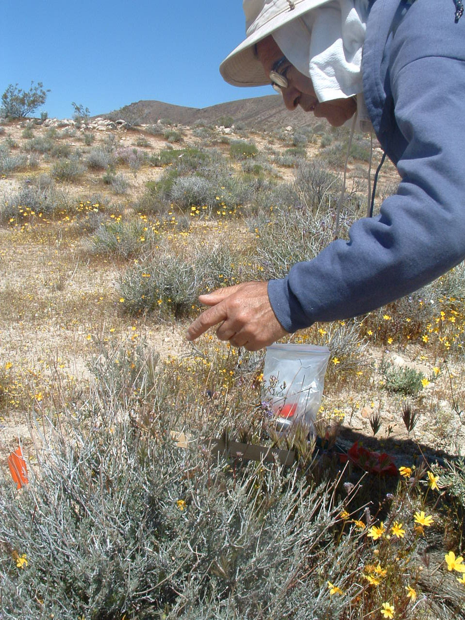 UCLA researcher with Lane Mountain Milk Vetch