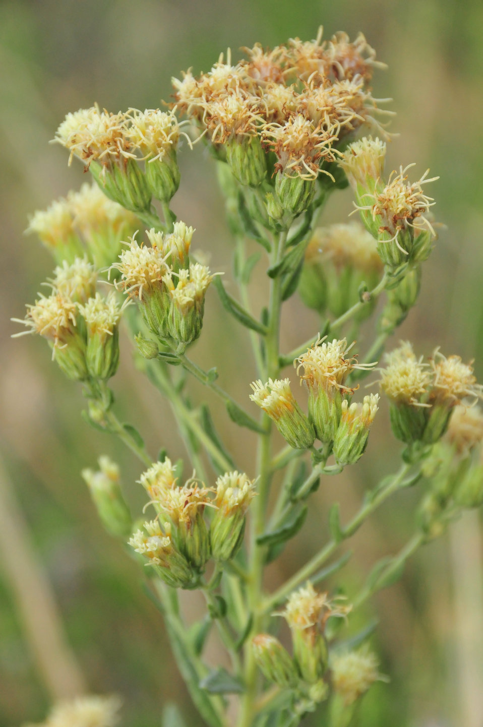 False Boneset (Kuhnia eupatorioides) on mixed grass prairie of Lacreek NWR 2