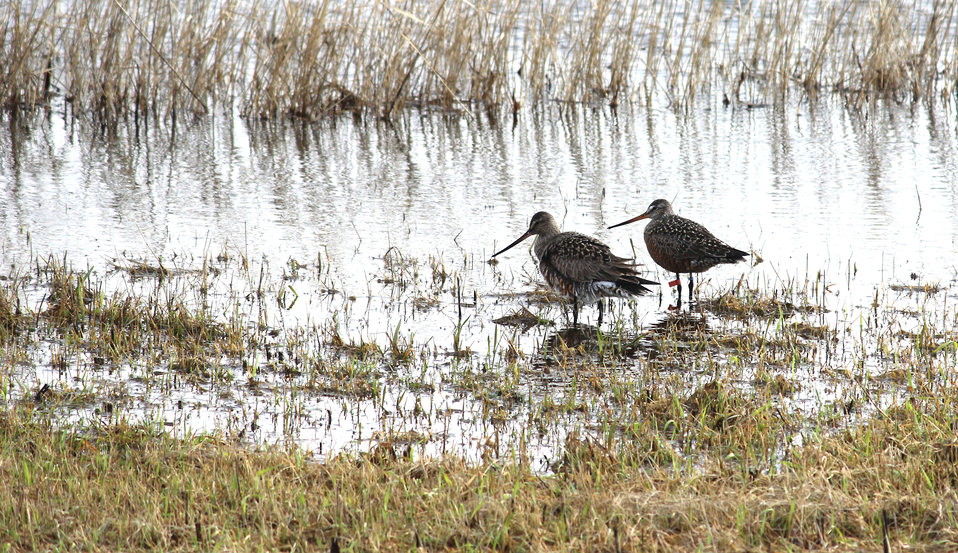 Hudsonian Godwit with Leg Bands