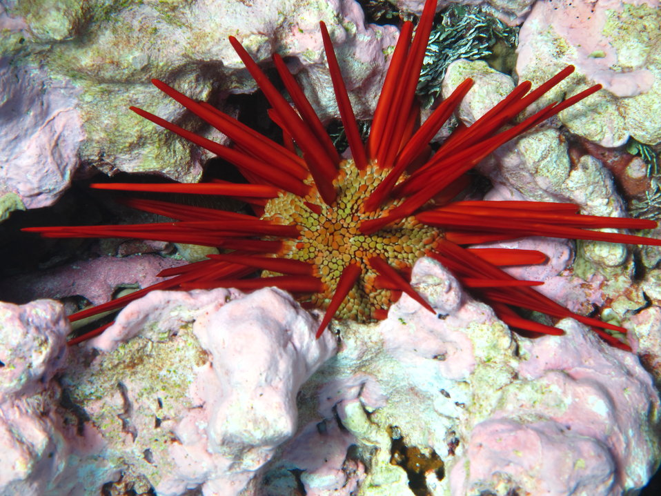 A pencil urchin is found among the coral at Kingman Reef National Wildlife Refuge.  Photo Credit: Amanda Pollock/USFWS