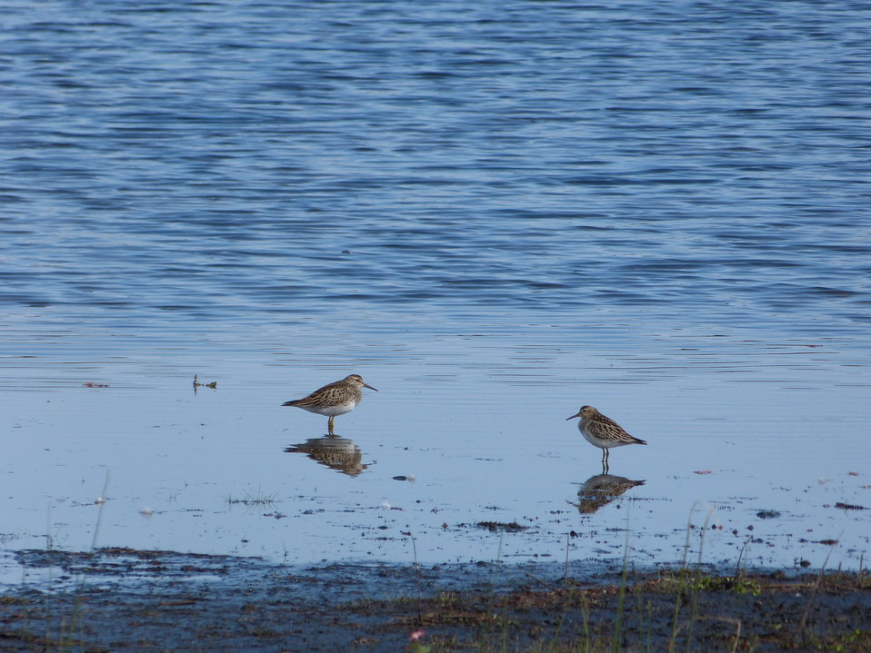 Shorebirds