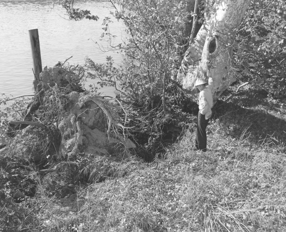 Toppled sycamore tree on Sacramento River levee