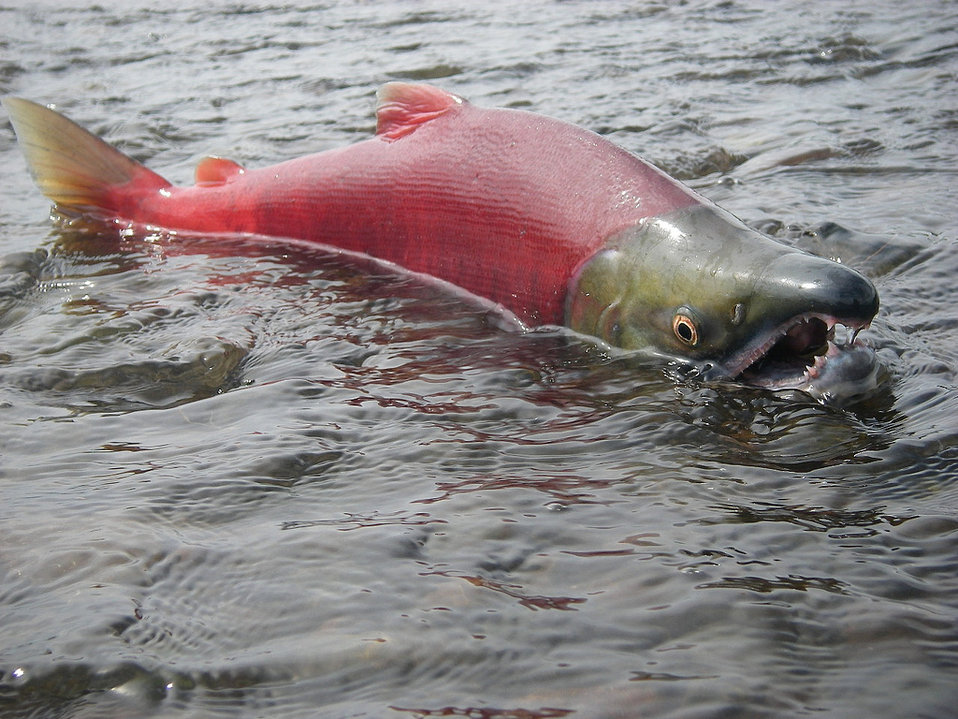 July 2010, Spawning male sockeye