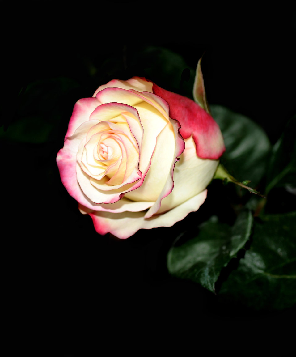 Rose on a dark background