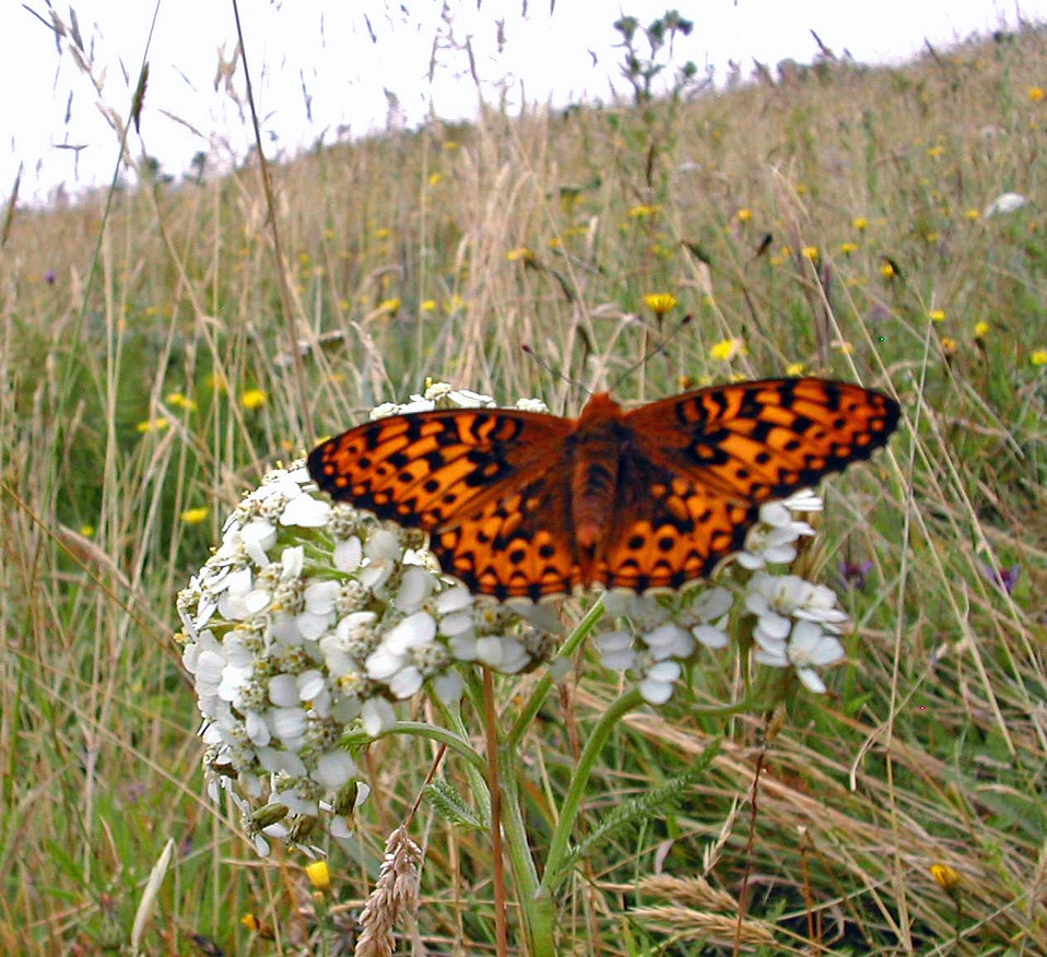 Silverspot Butterfly-a