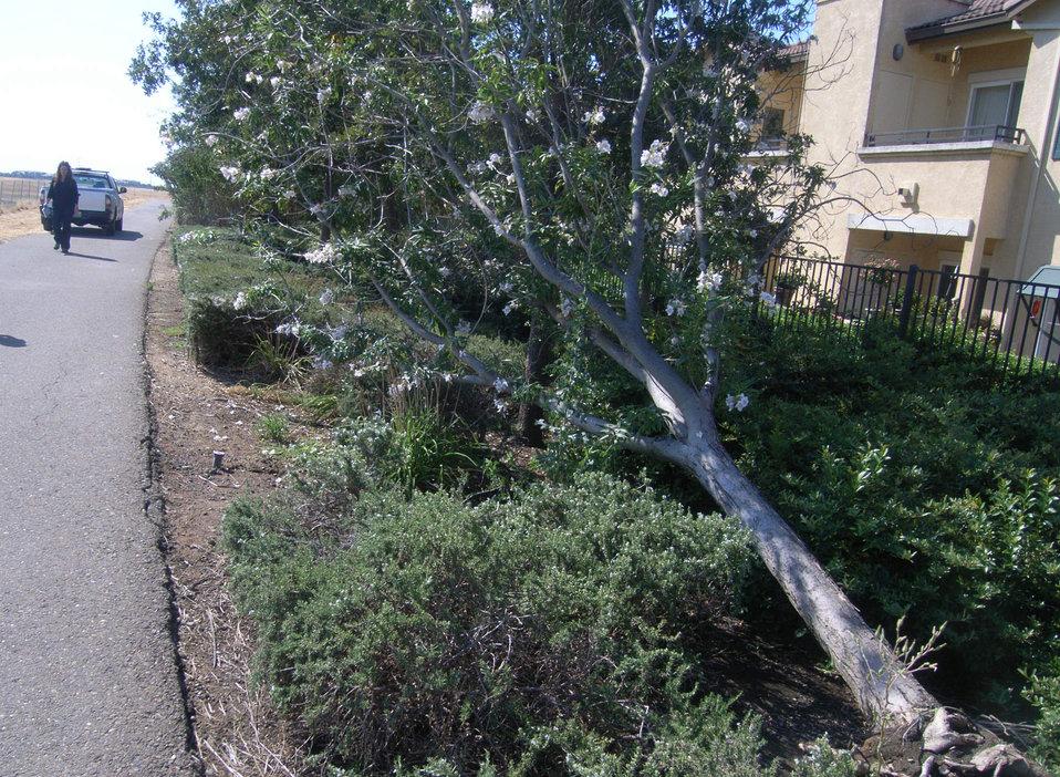 Toppled tree on Elk Grove levee