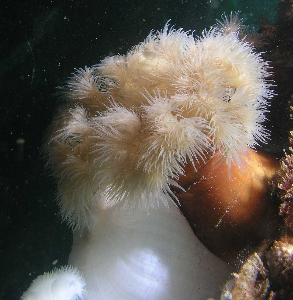 February 2, 2012 Puget Sound, plumose anemone