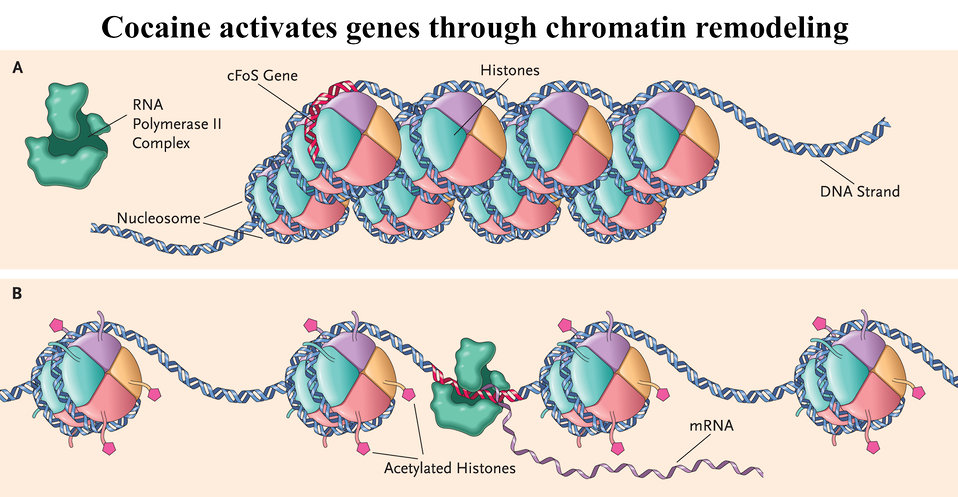 Cocaine activates Genes through chromatin remodeling